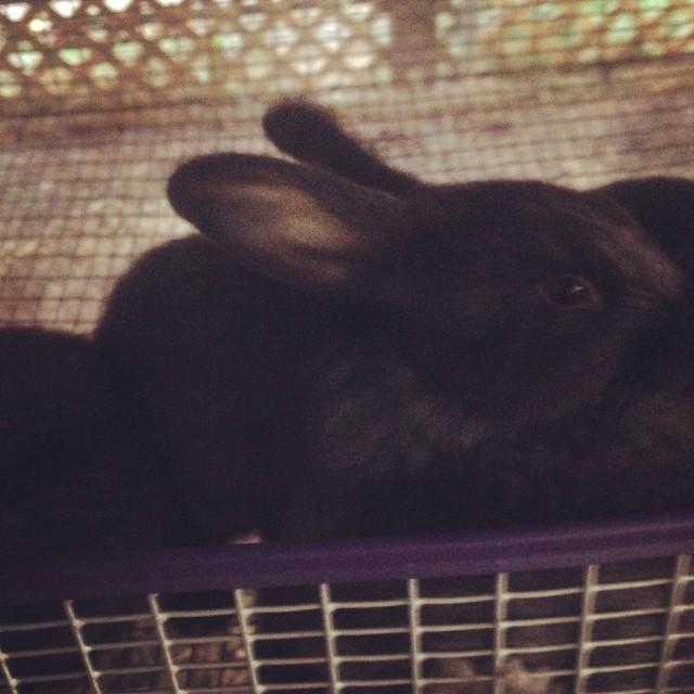 Rockin H Farm Silver Fox Rabbit Kit